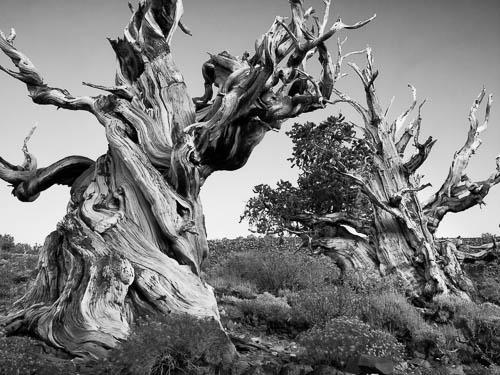 Ancient Bristlecone Forest, Bishop, CA